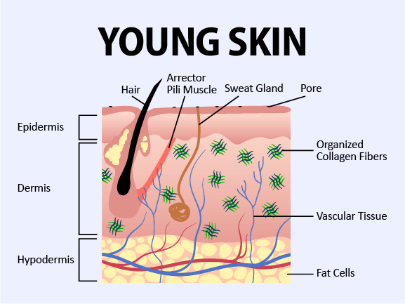 Depicts young skin, before loss of fat and subdermal collagen leads to wrinkles and jowling.